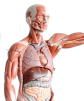 Anatomical Model of the Human Body