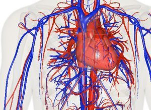 An image of heart and blood vessles; veins are blue and arteries are red