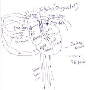 A hand drawing of the circulation of blood through the cardiovascular system